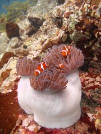 Clownfish (Nemo)
